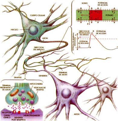 3.2- El impulso nervioso